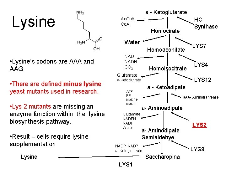 Lysine a - Ketoglutarate Ac. Co. A HC Synthase Homocirate Water Homoaconitate • Lysine's