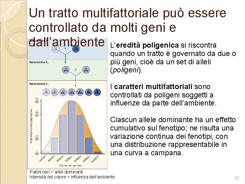 Un tratto multifattoriale può essere controllato da molti geni e dall'ambiente L'eredità poligenica si