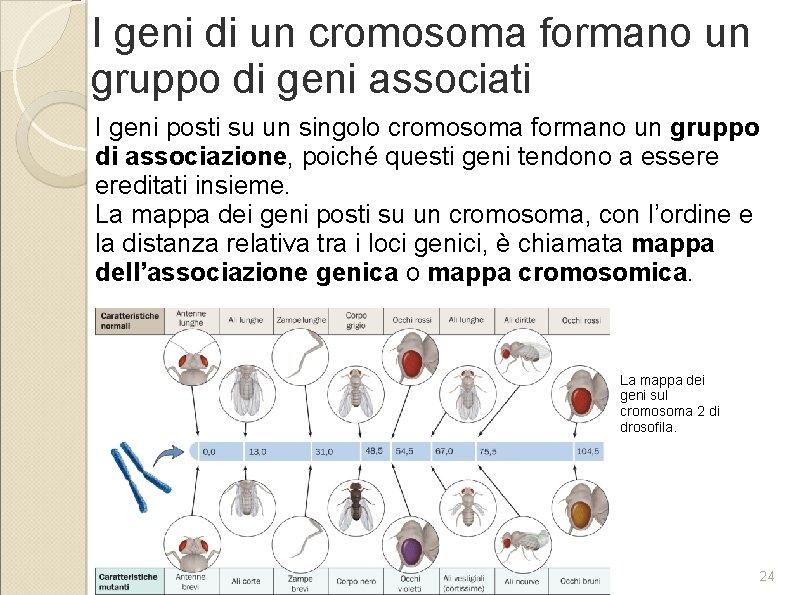 I geni di un cromosoma formano un gruppo di geni associati I geni posti