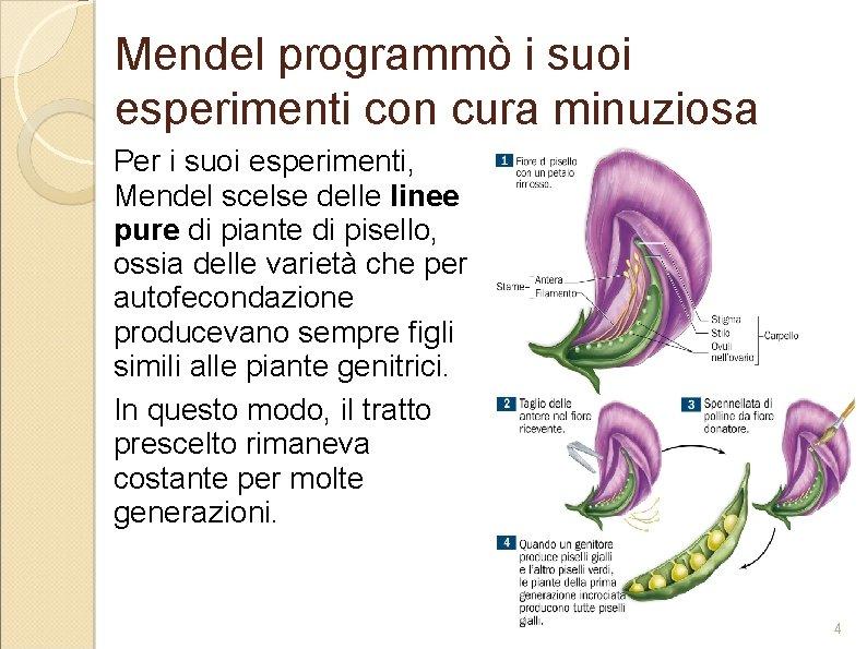 Mendel programmò i suoi esperimenti con cura minuziosa Per i suoi esperimenti, Mendel scelse