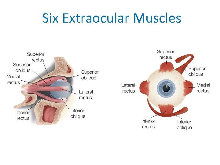Six Extraocular Muscles