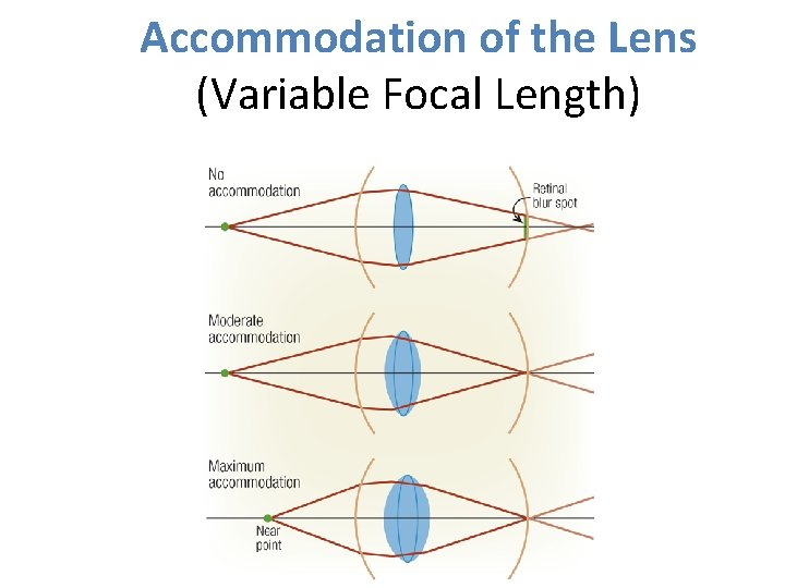 Accommodation of the Lens (Variable Focal Length)