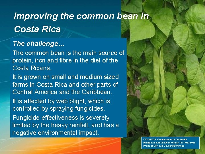 Improving the common bean in Costa Rica The challenge… The common bean is the