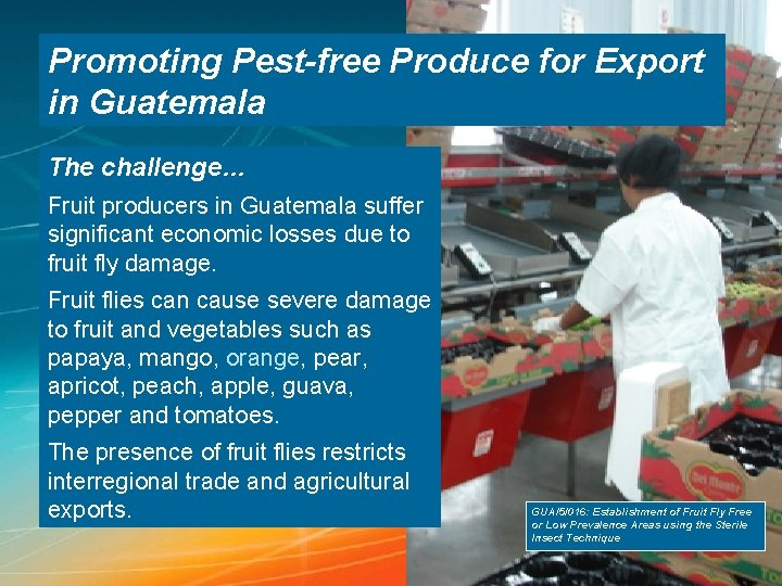 Promoting Pest-free Produce for Export in Guatemala The challenge… Fruit producers in Guatemala suffer