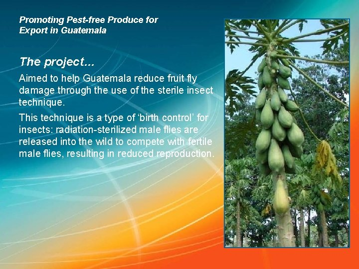 Promoting Pest-free Produce for Export in Guatemala The project… Aimed to help Guatemala reduce