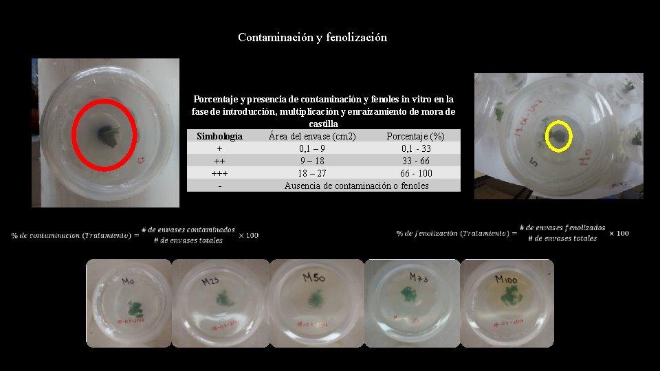 Contaminación y fenolización Porcentaje y presencia de contaminación y fenoles in vitro en la