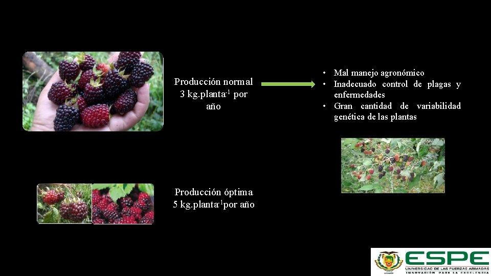 Producción normal 3 kg. planta-1 por año Producción óptima 5 kg. planta-1 por año