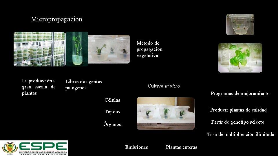 Micropropagación Método de propagación vegetativa La producción a gran escala de plantas Libres de