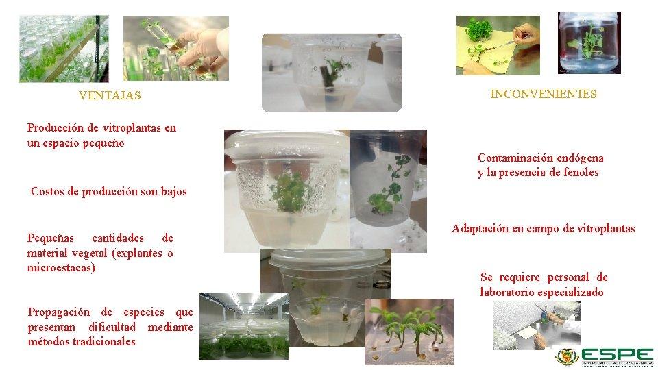 VENTAJAS INCONVENIENTES Producción de vitroplantas en un espacio pequeño Contaminación endógena y la presencia