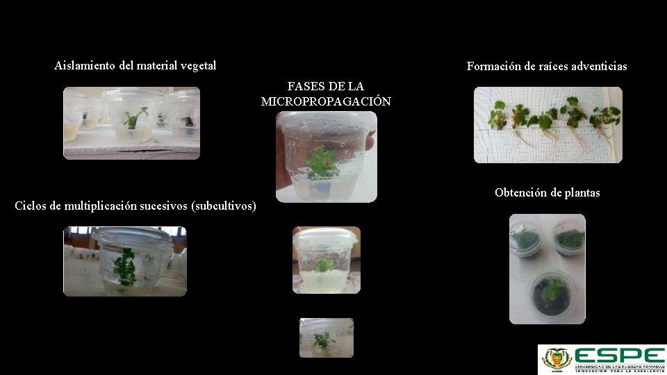 Aislamiento del material vegetal Formación de raíces adventicias FASES DE LA MICROPROPAGACIÓN Ciclos de