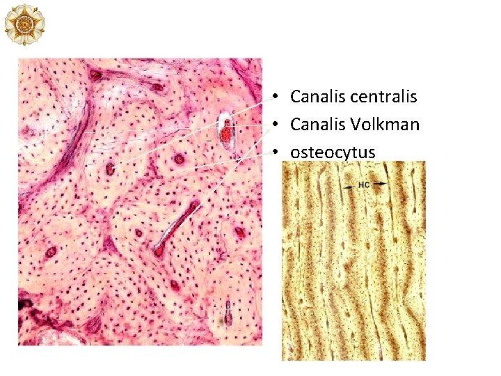 • Canalis centralis • Canalis Volkman • osteocytus