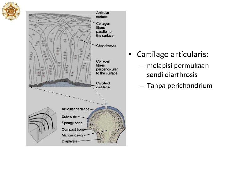 • Cartilago articularis: – melapisi permukaan sendi diarthrosis – Tanpa perichondrium