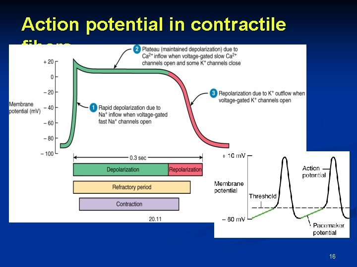 Action potential in contractile fibers 16