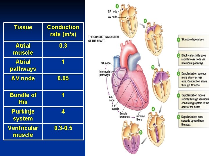 Tissue Conduction rate (m/s) Atrial muscle 0. 3 Atrial pathways 1 AV node 0.