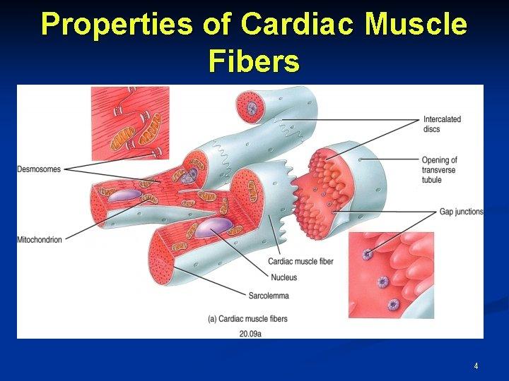 Properties of Cardiac Muscle Fibers 4