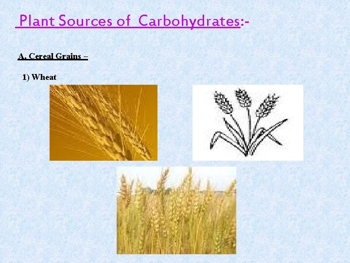 Plant Sources of Carbohydrates: A. Cereal Grains – 1) Wheat