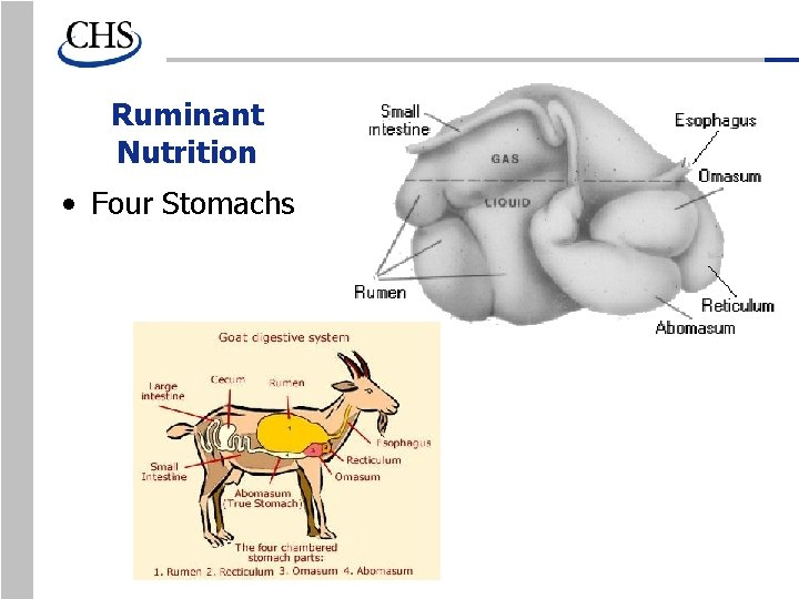Ruminant Nutrition • Four Stomachs