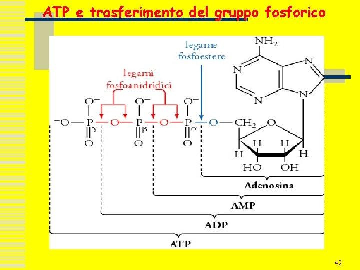 ATP e trasferimento del gruppo fosforico 42