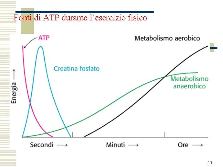 Fonti di ATP durante l'esercizio fisico 50