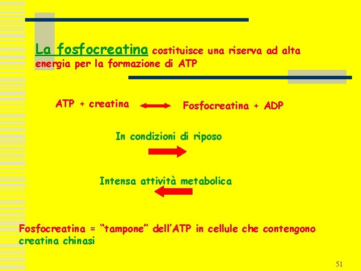 La fosfocreatina costituisce una riserva ad alta energia per la formazione di ATP +