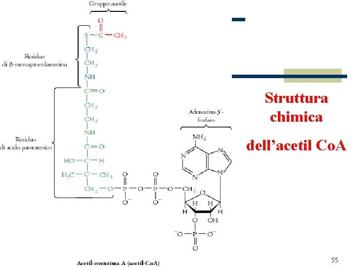 Struttura chimica dell'acetil Co. A 55