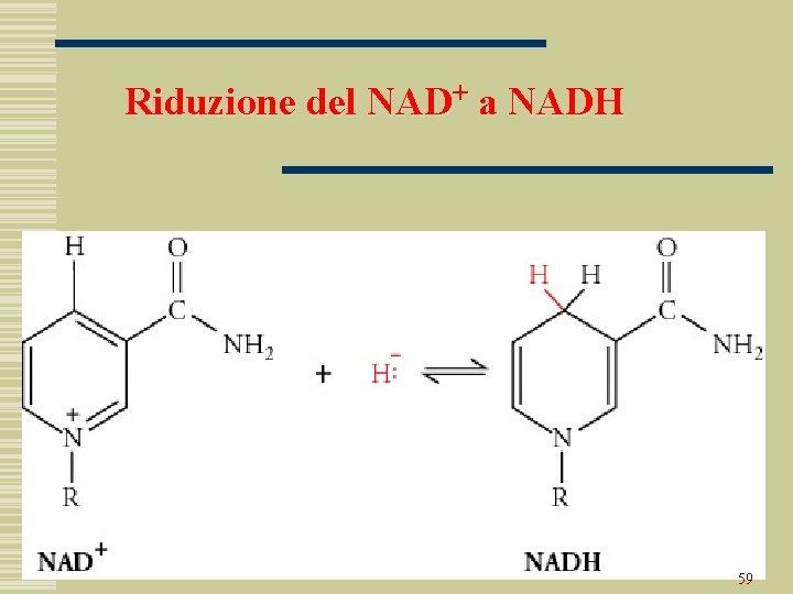 Riduzione del NAD+ a NADH 59