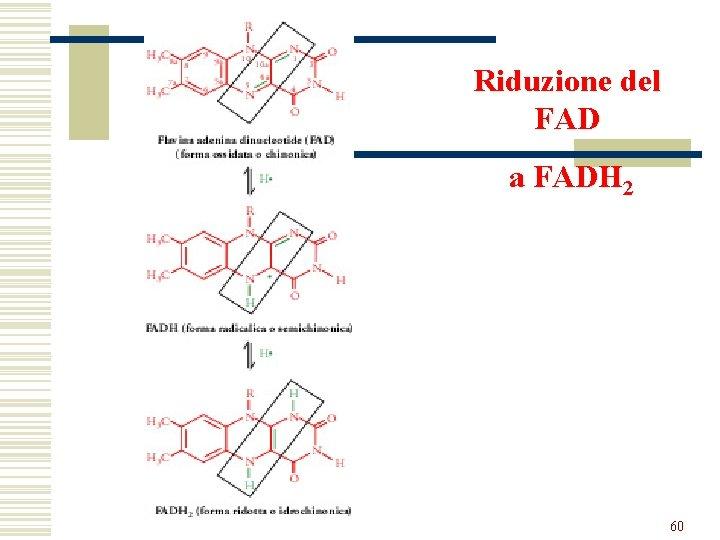 Riduzione del FAD a FADH 2 60