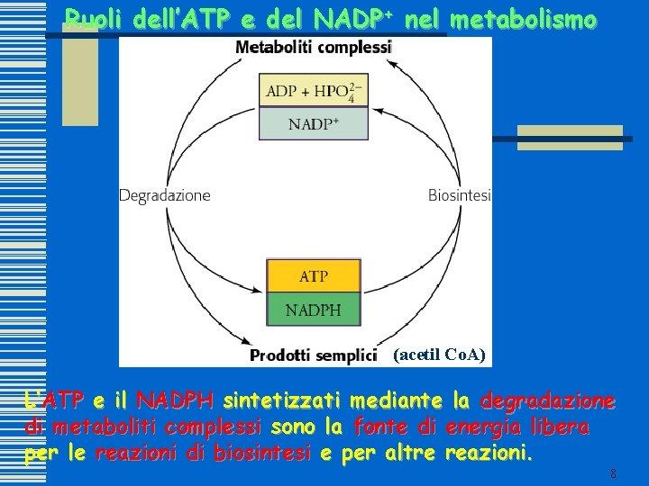 Ruoli dell'ATP e del NADP+ nel metabolismo (acetil Co. A) L'ATP e il NADPH