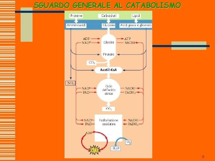 SGUARDO GENERALE AL CATABOLISMO 9