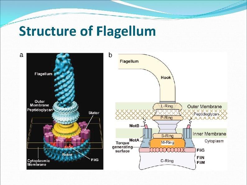 Structure of Flagellum