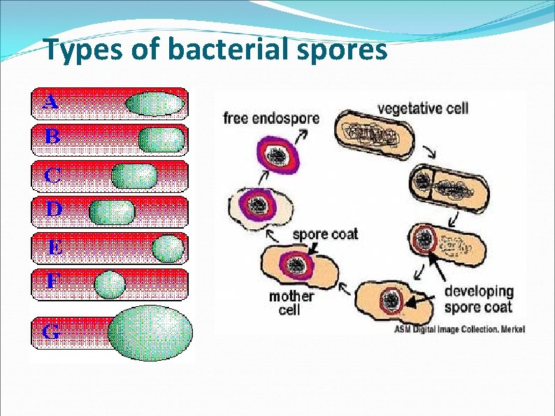 Types of bacterial spores