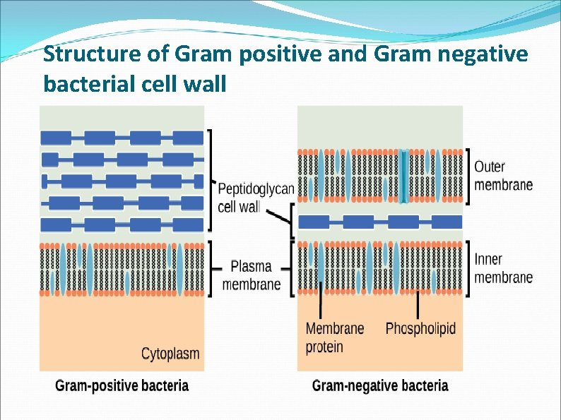 Structure of Gram positive and Gram negative bacterial cell wall