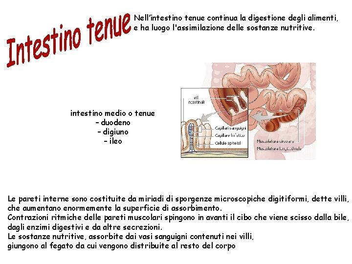 Nell'intestino tenue continua la digestione degli alimenti, e ha luogo l'assimilazione delle sostanze nutritive.