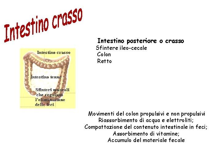 Intestino posteriore o crasso Sfintere ileo-cecale Colon Retto Movimenti del colon propulsivi e