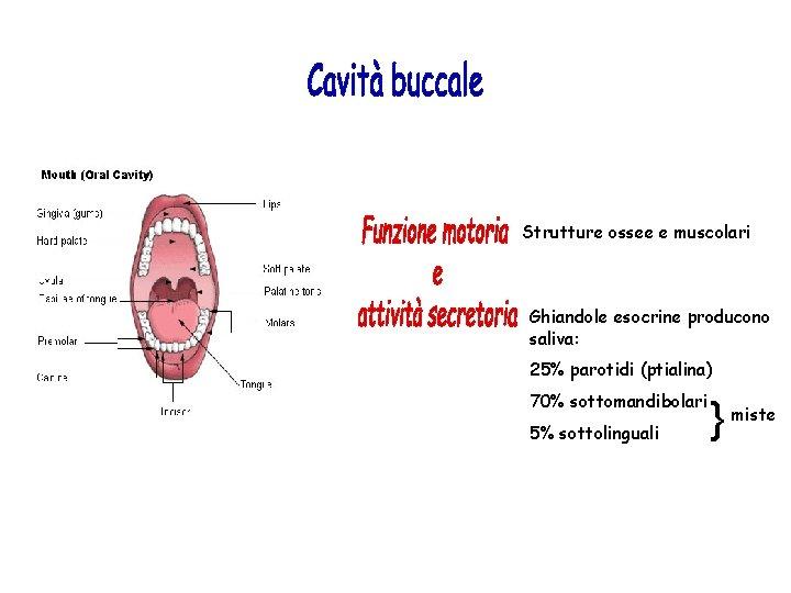 Strutture ossee e muscolari Ghiandole esocrine producono saliva: 25% parotidi (ptialina) 70% sottomandibolari 5%
