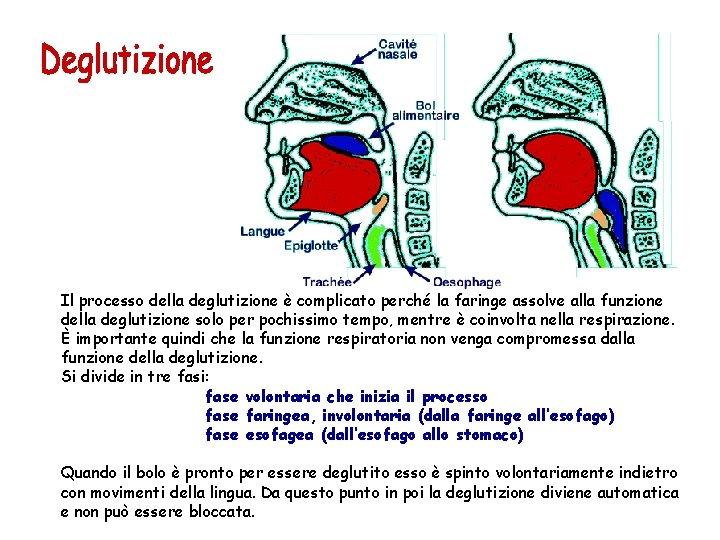 Il processo della deglutizione è complicato perché la faringe assolve alla funzione della deglutizione