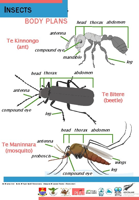 INSECTS INSECT BODY PLANS head thorax abdomen antenna Te Kinnongo (ant) compound eye mandible
