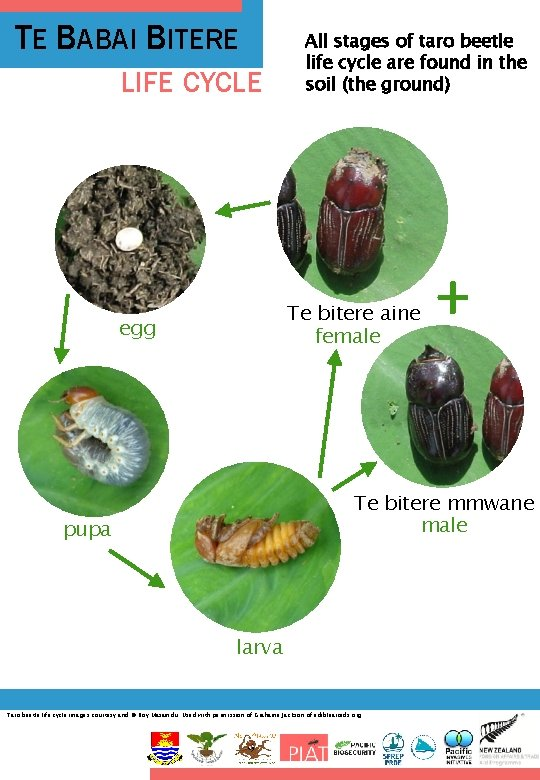 TE BABAI BITERE LIFE CYCLE All stages of taro beetle life cycle are found