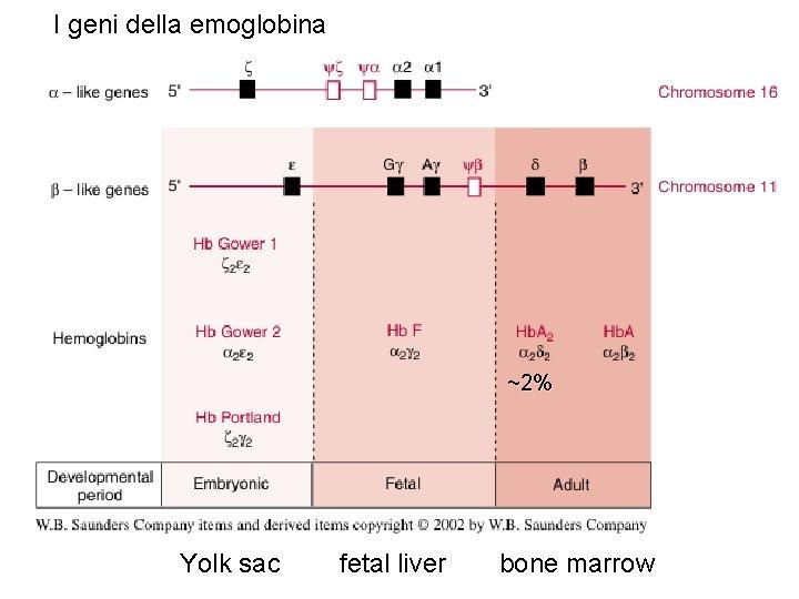 I geni della emoglobina ~2% Yolk sac fetal liver bone marrow