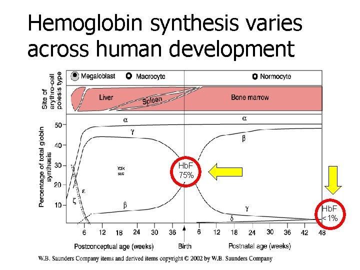 Hemoglobin synthesis varies across human development Hb. F 75% Hb. F <1%