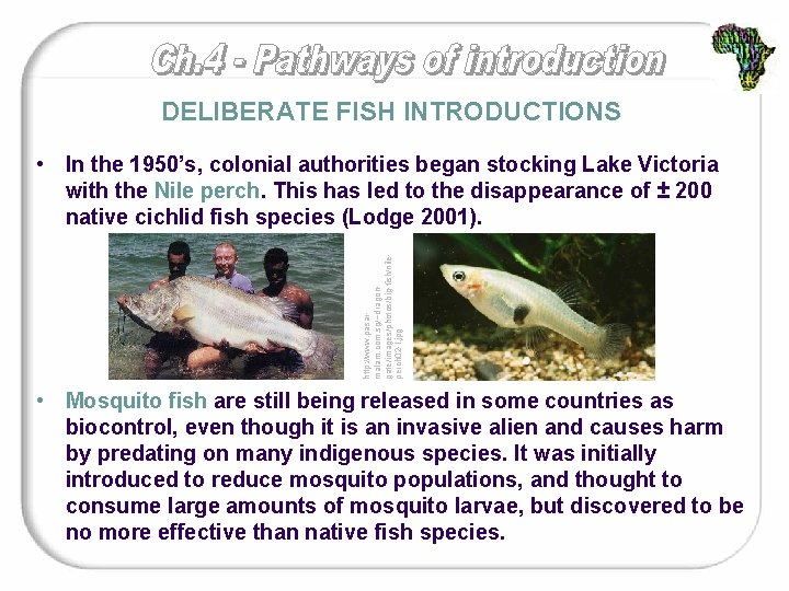 DELIBERATE FISH INTRODUCTIONS http: //www. pasarmalam. com. sg/~dragongate/images/photos/big-fish/nileperch 02 -l. jpg • In the