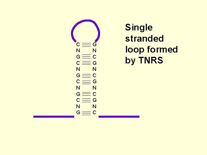 C N G G N C Single stranded loop formed by TNRS