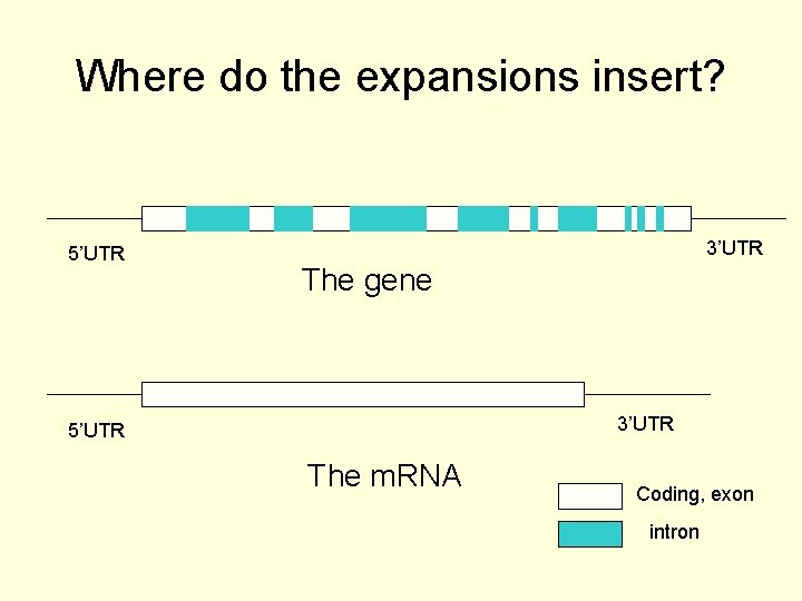 Where do the expansions insert? 5'UTR 3'UTR The gene 3'UTR 5'UTR The m. RNA