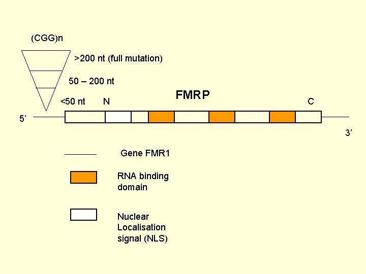 (CGG)n >200 nt (full mutation) 50 – 200 nt <50 nt FMRP N C