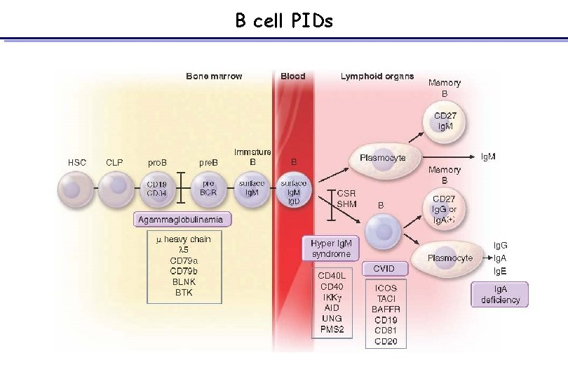 B cell PIDs