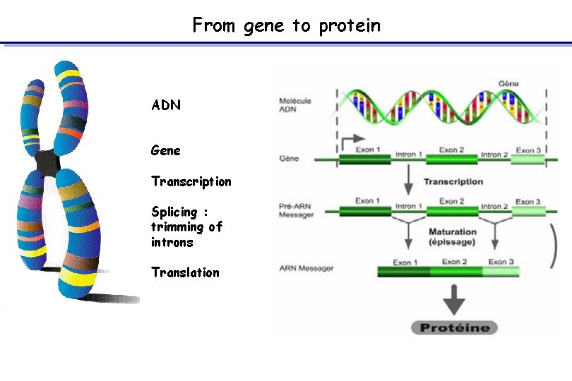 From gene to protein ADN Gene Transcription Splicing : trimming of introns Translation