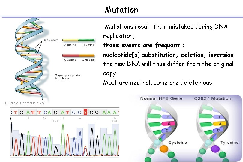 Mutations result from mistakes during DNA replication, these events are frequent : nucleotide[s] substitution,