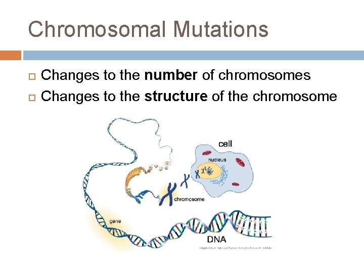 Chromosomal Mutations Changes to the number of chromosomes Changes to the structure of the