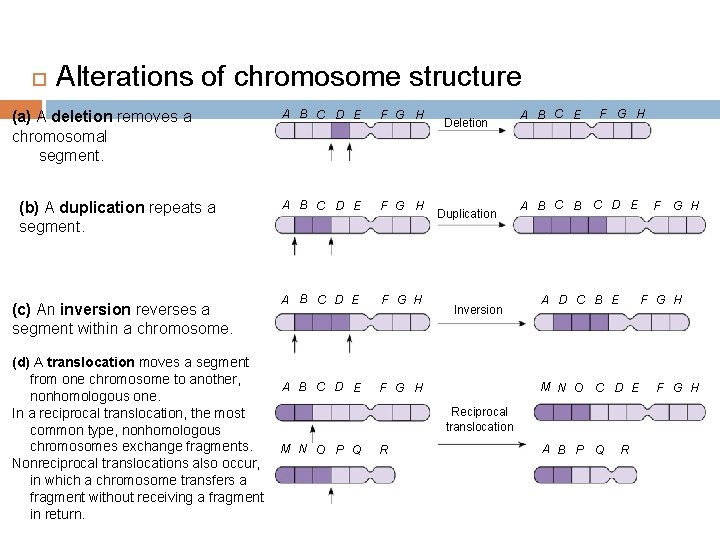 Alterations of chromosome structure (a) A deletion removes a chromosomal segment. (b) A