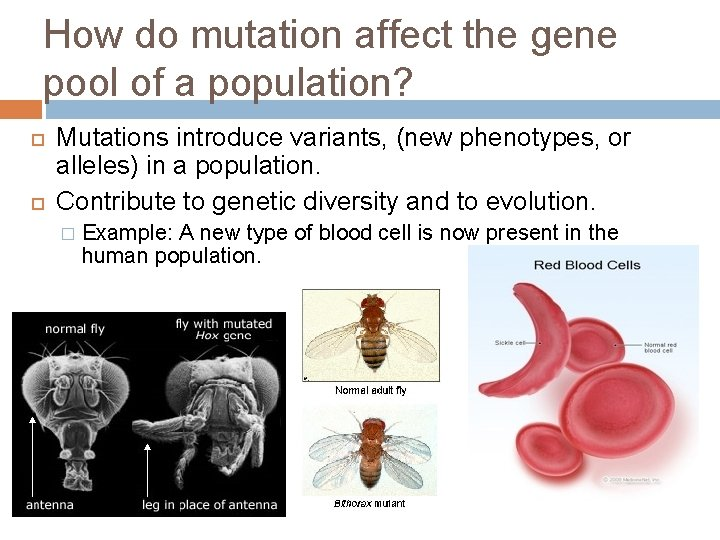 How do mutation affect the gene pool of a population? Mutations introduce variants, (new